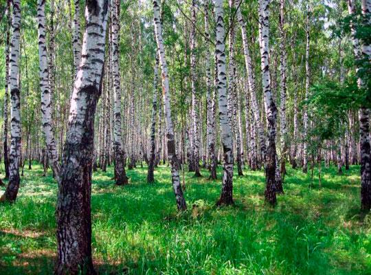 в Сумской области уничтожают березы