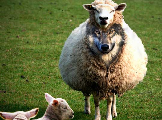 Злобные овцы